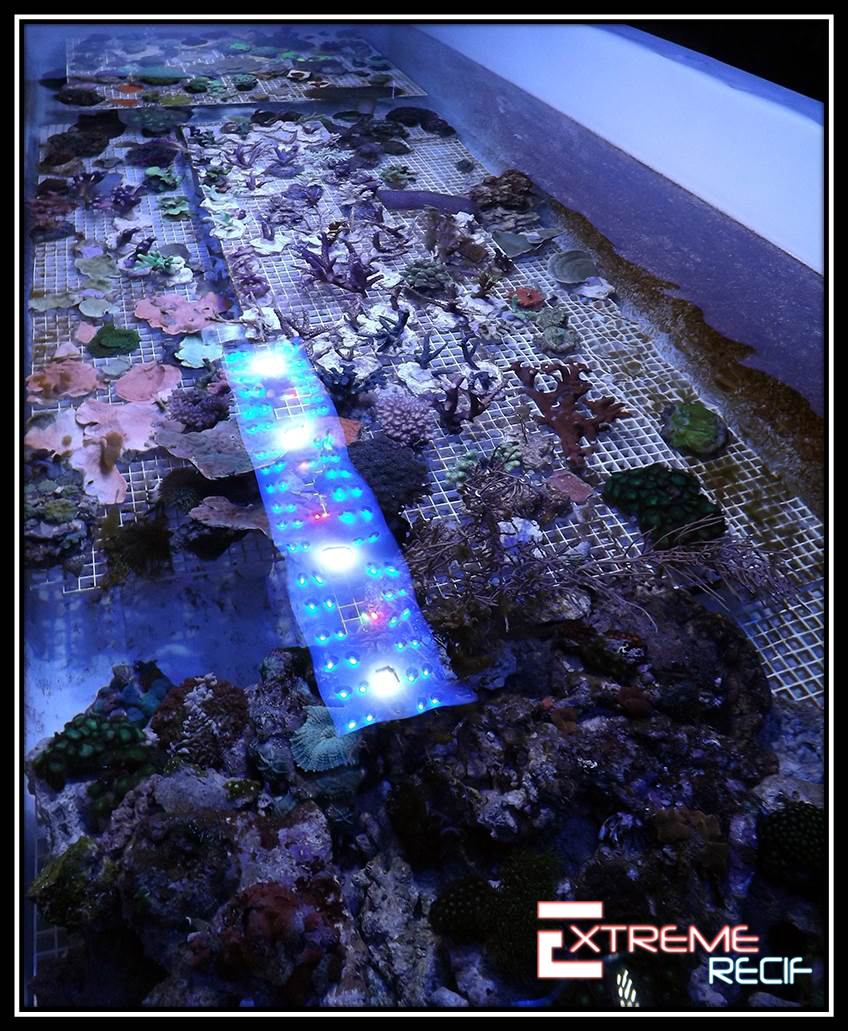 Coraux durs dans bac coralliens à Besancon Extreme-recif